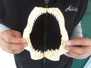 SJ180 2A) RARE 5 7/8 HEMIPRISTIS SHARK jaw sharks jaws teeth