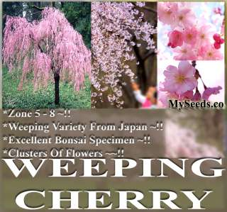 JAPANESE Weeping Cherry Tree Seeds A++ SPECIMEN ~ Prunus subhirtella