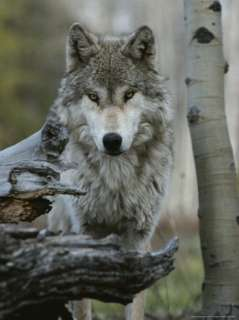 Beautiful Portrait of a Gray Wolf, Canis Lupus Photographic Print by