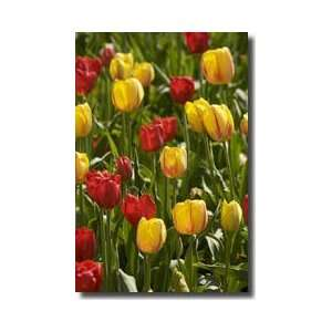 Tulip Time Holland Michigan Giclee Print  Home & Kitchen