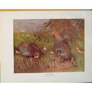 Partridge Color Antique Print Bird Birds Fine Art C1910